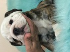 Bulldog Puppy For Sale in BOSTON, Massachusetts,