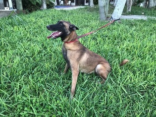 Mother of the Belgian Malinois puppies born on 11/19/2018