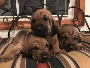 Bloodhound Puppy For Sale in LEBANON, MO, USA