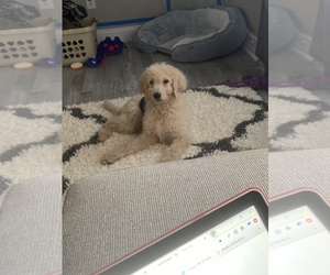 Goldendoodle-Unknown Mix Puppy for sale in MENTOR, OH, USA