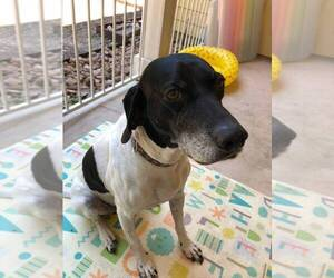 German Shorthaired Pointer Dog For Adoption in SAN ANTONIO, TX, USA