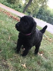 Poodle (Standard) Puppy For Sale in PRIOR LAKE, MN, USA