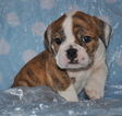 Bulldog Puppy For Sale in ROYSE CITY, TX, USA