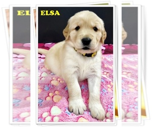 Golden Retriever Puppy for sale in MARIETTA, GA, USA