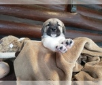 Small #26 Anatolian Shepherd-Maremma Sheepdog Mix