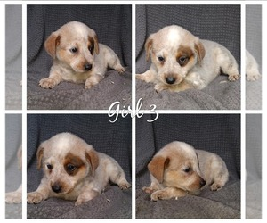 Australian Cattle Dog Puppy for Sale in RIDGELAND, South Carolina USA