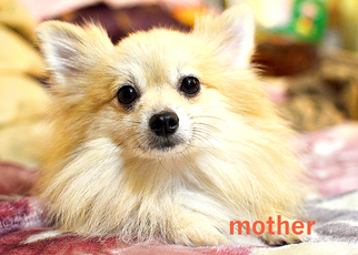 Mother of the Pomeranian puppies born on 11/23/2016
