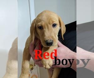 Labrador Retriever Puppy for Sale in KANSAS CITY, Missouri USA