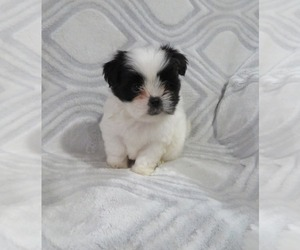 Shiranian Puppy for Sale in HAWESVILLE, Kentucky USA