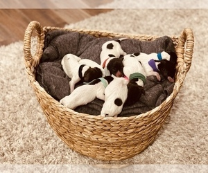 German Shorthaired Pointer Puppy for Sale in CHEYENNE, Wyoming USA