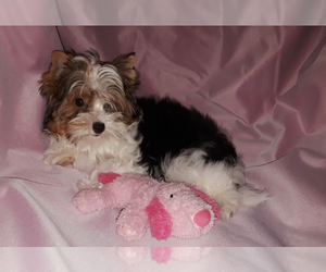 Biewer Terrier Puppy for Sale in LEOMINSTER, Massachusetts USA