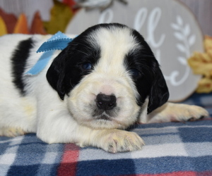 English Springer Spaniel Puppy for sale in EAST PALESTINE, OH, USA