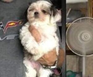 Morkie Puppy for sale in PENSACOLA, FL, USA