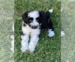Puppy 9 Aussie-Poo