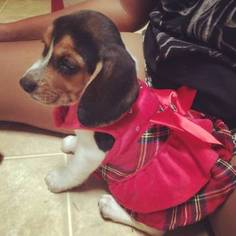 Beagle Puppy For Sale in FORT WORTH, TX, USA