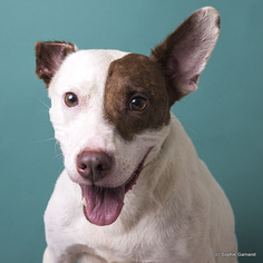 Peaches - Pointer / Pit Bull Terrier / Mixed Dog For Adoption