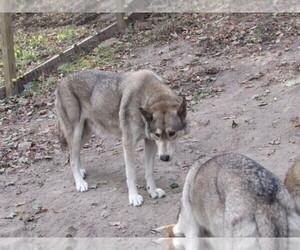 Medium Wolf Hybrid
