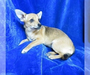 Chihuahua Puppy for sale in GROVESPRING, MO, USA