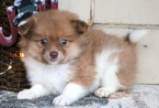 Pomeranian Puppy For Sale in MOUNT JOY, PA, USA