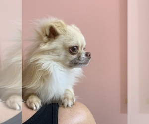 Chihuahua Puppy for sale in MIDDLEBURG, FL, USA