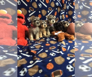 Schnauzer (Miniature) Puppy for sale in HOUSTON, TX, USA