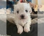 Puppy 5 Zuchon