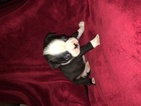 Boston Terrier Puppy For Sale in PORTLAND, OR