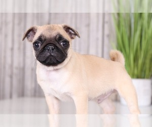 Pug Puppy for Sale in MOUNT VERNON, Ohio USA