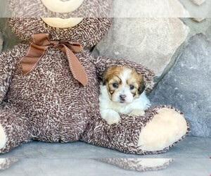 Zuchon Puppy for sale in AMITY, NC, USA
