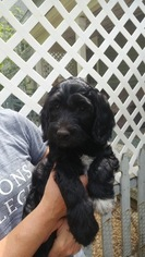 Labradoodle Puppy for sale in BARRE, MA, USA