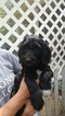 Labradoodle Puppy For Sale in BARRE, MA,