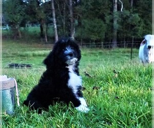 Aussiedoodle Puppy for Sale in HANCEVILLE, Alabama USA