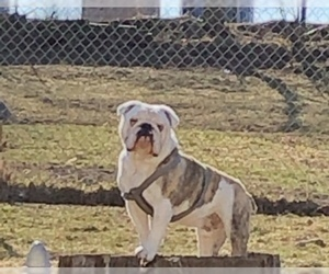 Bulldog Puppy for sale in EAST TROY, WI, USA
