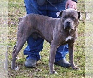 Father of the Cane Corso puppies born on 04/19/2020