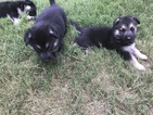 German Shepherd Dog Puppy For Sale in MONROE, GA, USA