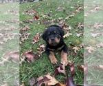 Puppy 3 Rottweiler