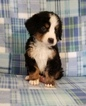 Bernese Mountain Dog Puppy For Sale in FRANCISCO, IN, USA