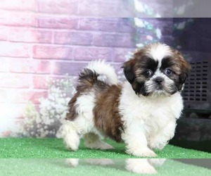 Shih Tzu Puppy for Sale in BEL AIR, Maryland USA