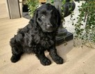 Aussiedoodle Puppy For Sale in WORTHINGTON, IN,