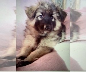 German Shepherd Dog-Great Pyrenees Mix Puppy for Sale in YUCCA VALLEY, California USA
