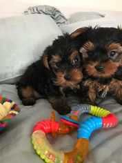 Yorkshire Terrier Dog For Adoption in HOUSTON, TX
