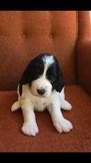 Springerdoodle Puppy For Sale in RANCHO MURIETA, CA, USA