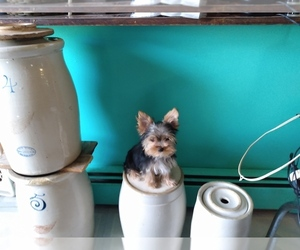 Yorkshire Terrier Puppy for sale in LE ROY, KS, USA