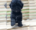Small #3 Maltese-Poodle (Toy) Mix
