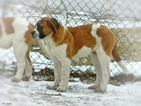 Saint Bernard Puppy For Sale in YPSILANTI, Michigan,