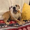Bulldog Puppy For Sale in CHARLESTON, SC,