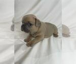 Puppy 5 French Bulldog