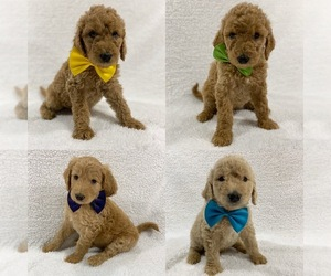 Goldendoodle Puppy for Sale in CHERRY CREEK, New York USA