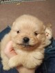 Pomeranian Puppy For Sale near 45697, Winchester, OH, USA