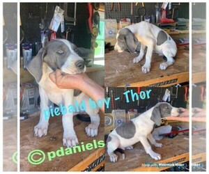 Great Dane Puppy for sale in NASHVILLE, NC, USA